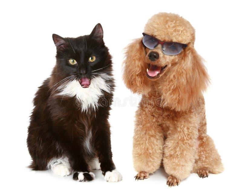 белизна пуделя собаки черного кота предпосылки стоковые изображения