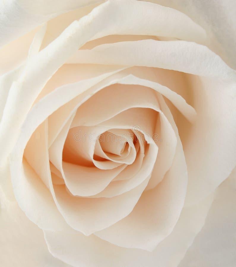 белизна розы крупного плана стоковое фото rf