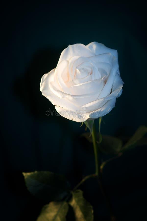 белизна розы ночи стоковое изображение