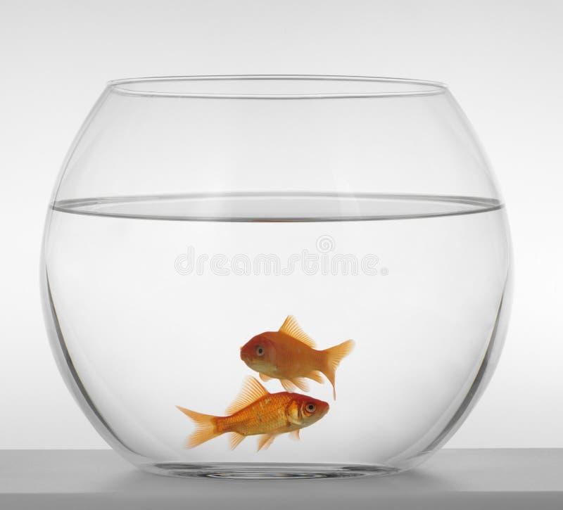 белизна рыб предпосылки аквариума красная стоковое изображение