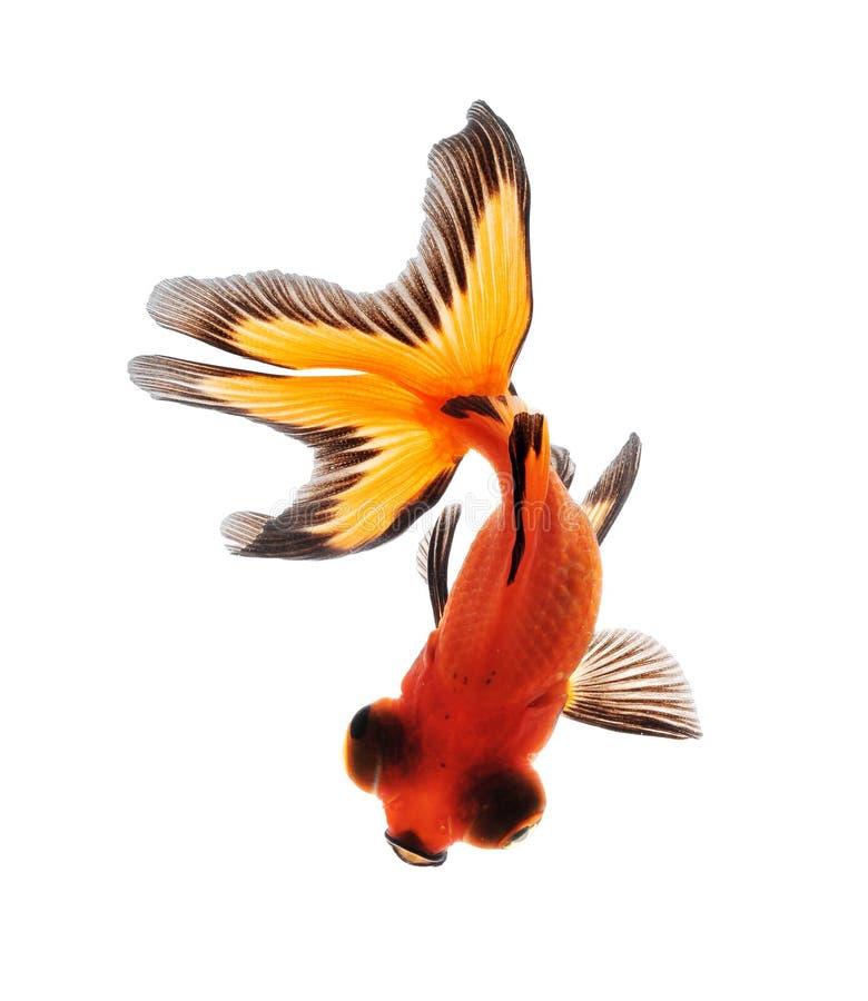 белизна рыб предпосылки изолированная золотом стоковые изображения rf