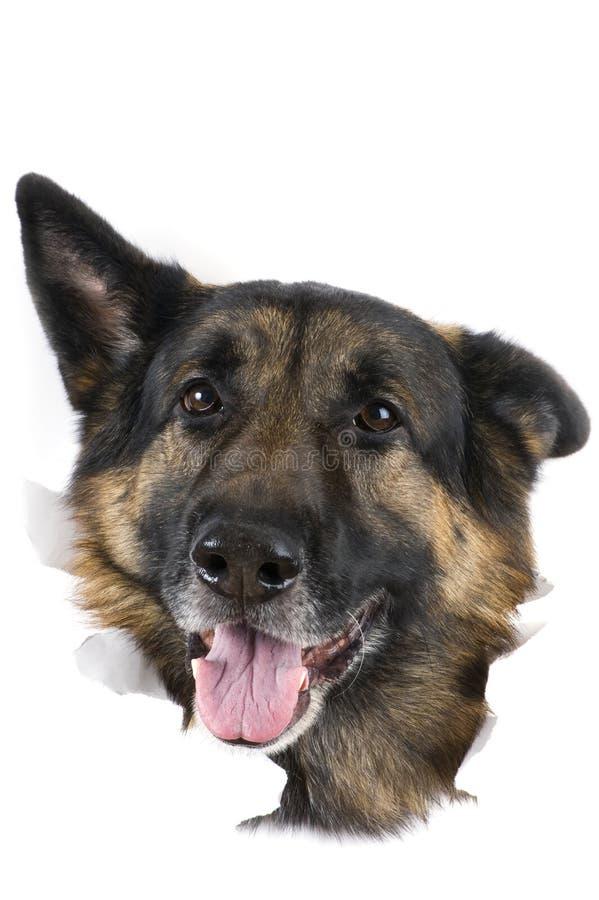 белизна собаки предпосылки стоковое фото rf