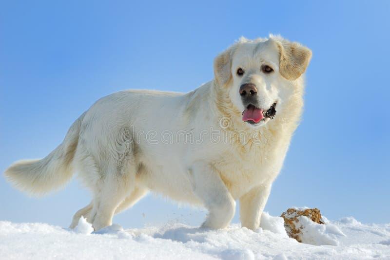 белизна собаки стоковые изображения