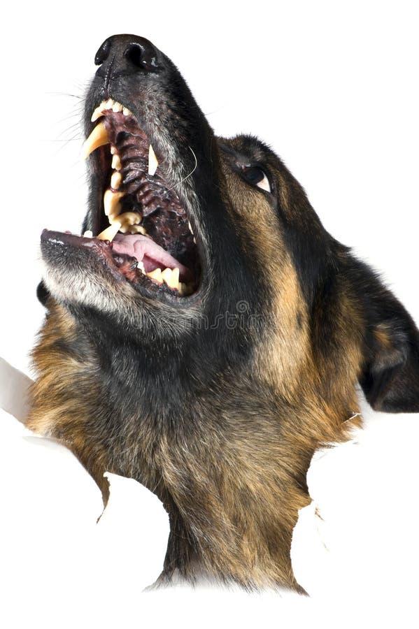 белизна собаки стоковые фото