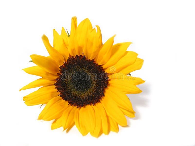 белизна солнцецвета предпосылки стоковые изображения rf