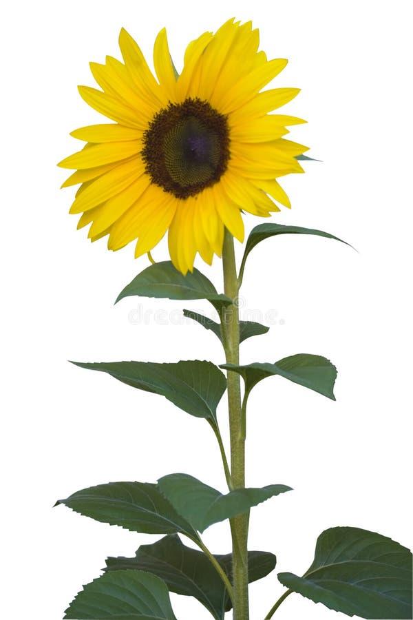 белизна солнцецвета стоковые изображения