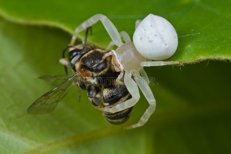 белизна спайдера prey рака пчелы стоковые изображения