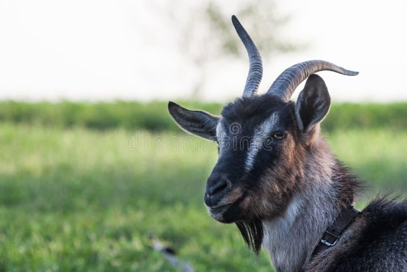 Белизна с черным портретом козы на естественной предпосылке стоковое изображение