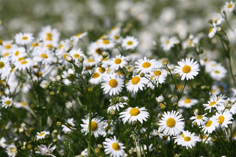 белизна текстуры цветка маргаритки стоковая фотография rf