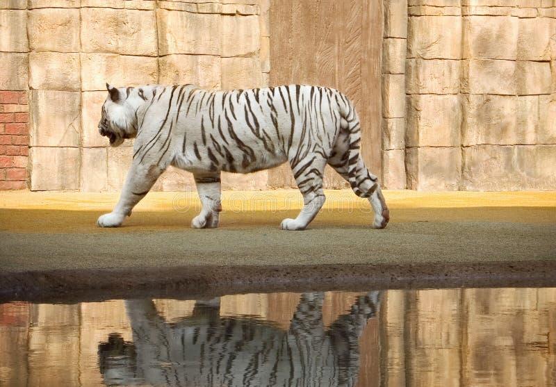 белизна тигра Бенгалии стоковая фотография rf