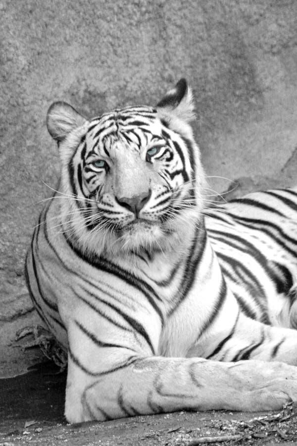 белизна тигра стоковое фото