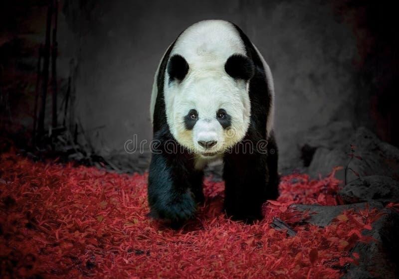 белизна типа панды иллюстрации шаржа медведя предпосылки стоковая фотография