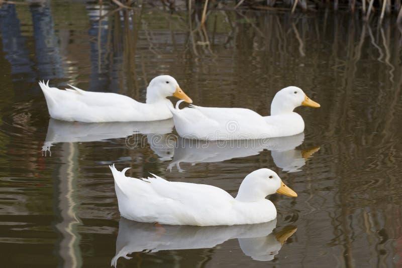 белизна трио утки стоковое фото rf