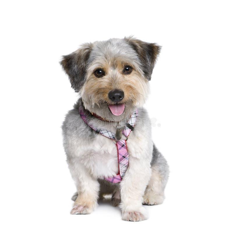 белизна фронта собаки креста breed предпосылки стоковое фото rf