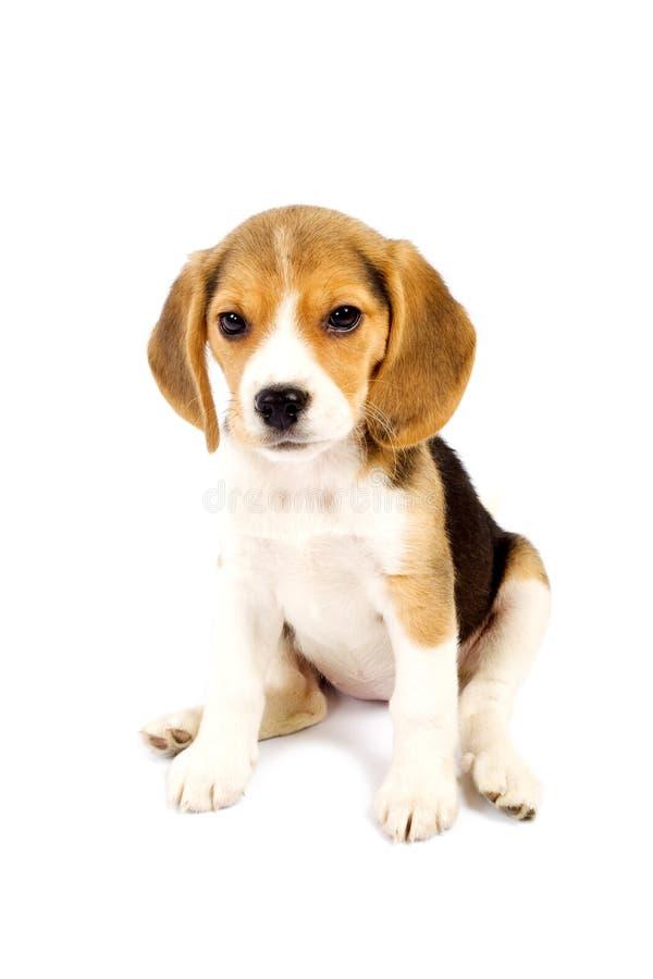 белизна фронта beagle предпосылки стоковое фото