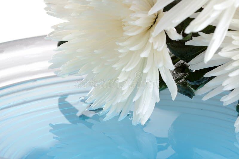 белизна хризантемы Стоковое Изображение RF