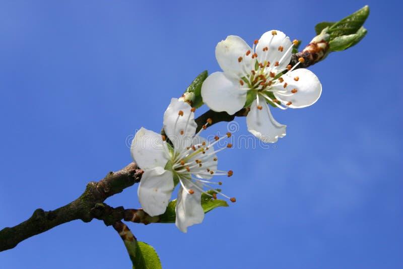 белизна цветения стоковое фото
