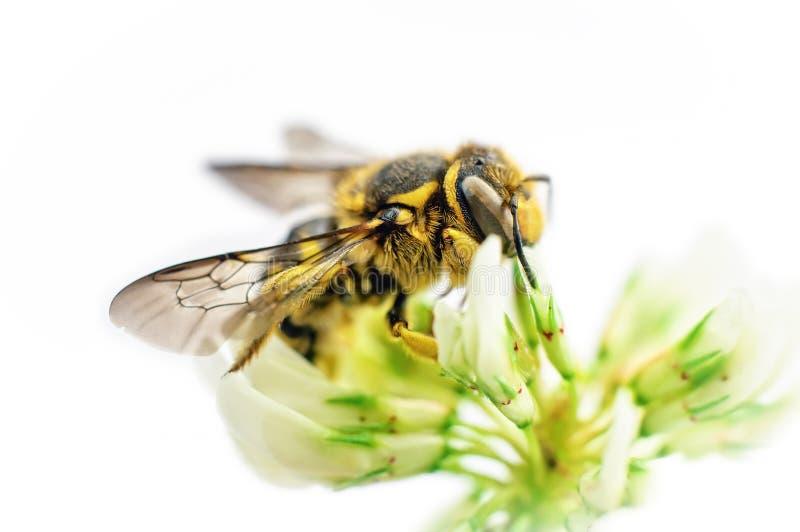 белизна цветка клевера пчелы стоковые изображения