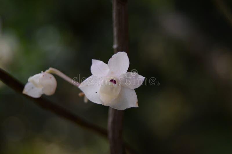 белизна цветка Орхидея стоковая фотография rf