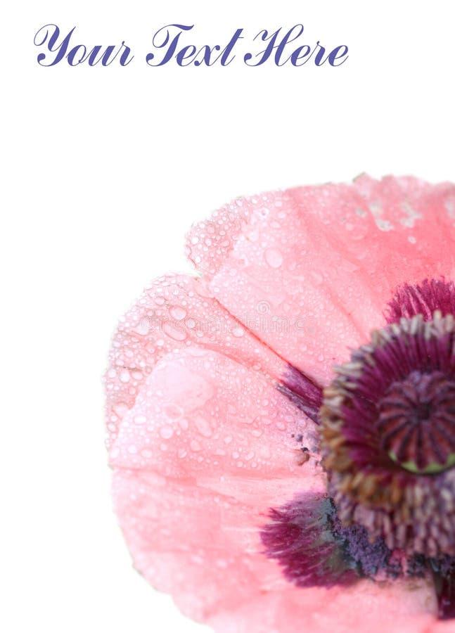 Download белизна цветка розовая стоковое фото. изображение насчитывающей ботаническую - 6864728