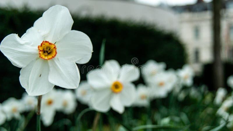белизна цветка цветеня стоковая фотография