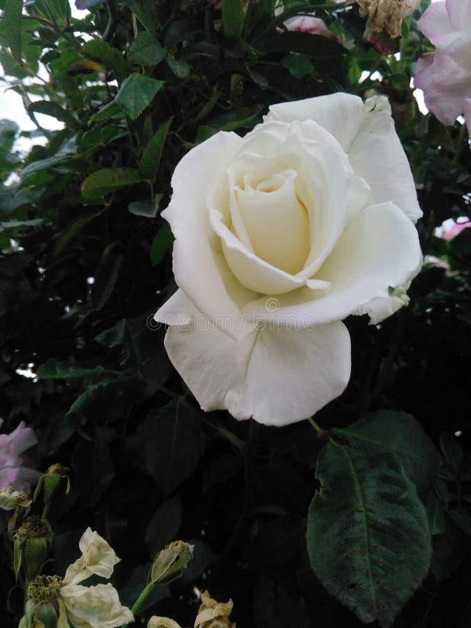 белизна цветка стоковые фотографии rf