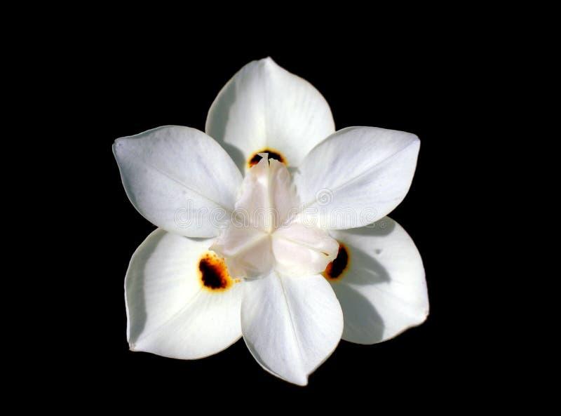 белизна цветка daylili стоковые изображения