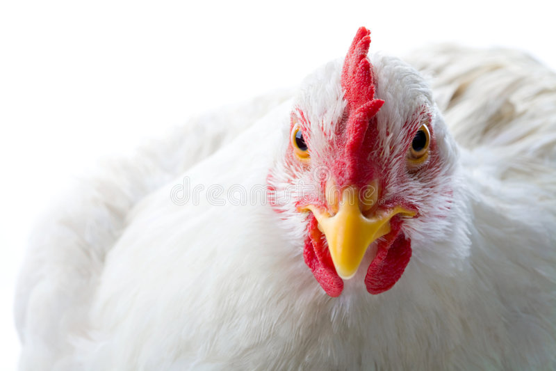 белизна цыпленка стоковые фотографии rf