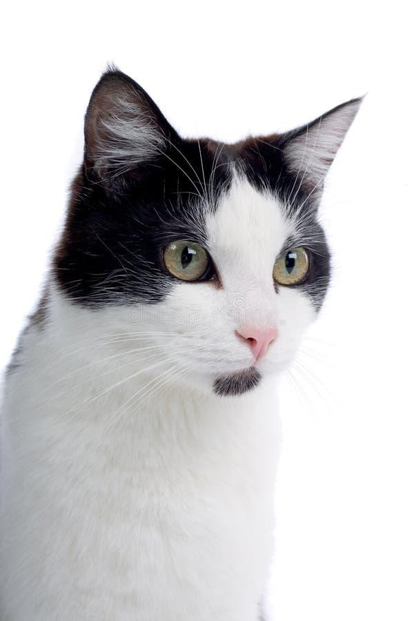 белизна черного кота милая стоковое изображение