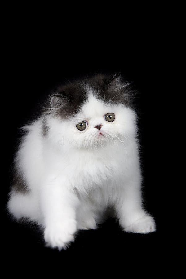 белизна черного котенка перская стоковые изображения rf
