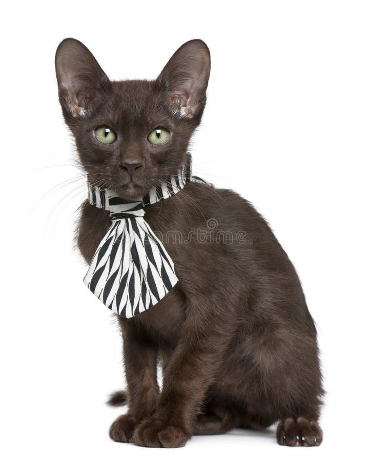 белизна черной коричневой связи котенка havana нося стоковое фото rf