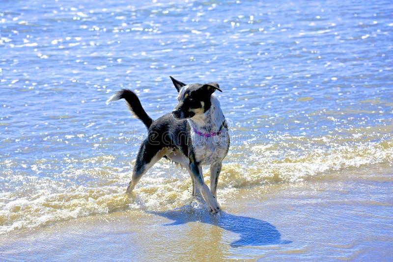 белизна черной собаки стоковая фотография rf