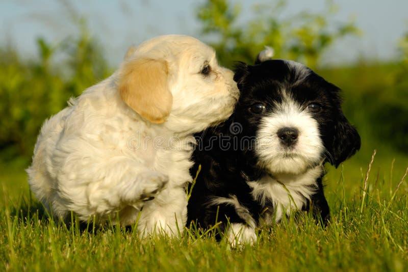 белизна щенка черных собак стоковые фотографии rf