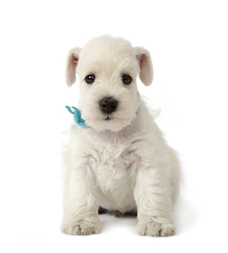 белизна щенка стоковая фотография rf