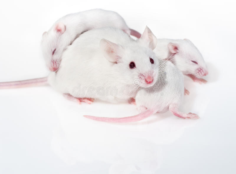 белизна щенят 3 мыши мати стоковые фото
