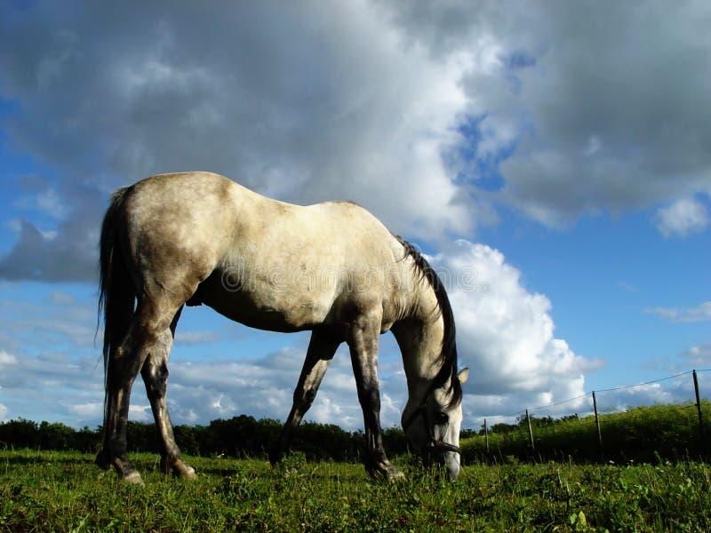 белизна 2 лошадей стоковая фотография