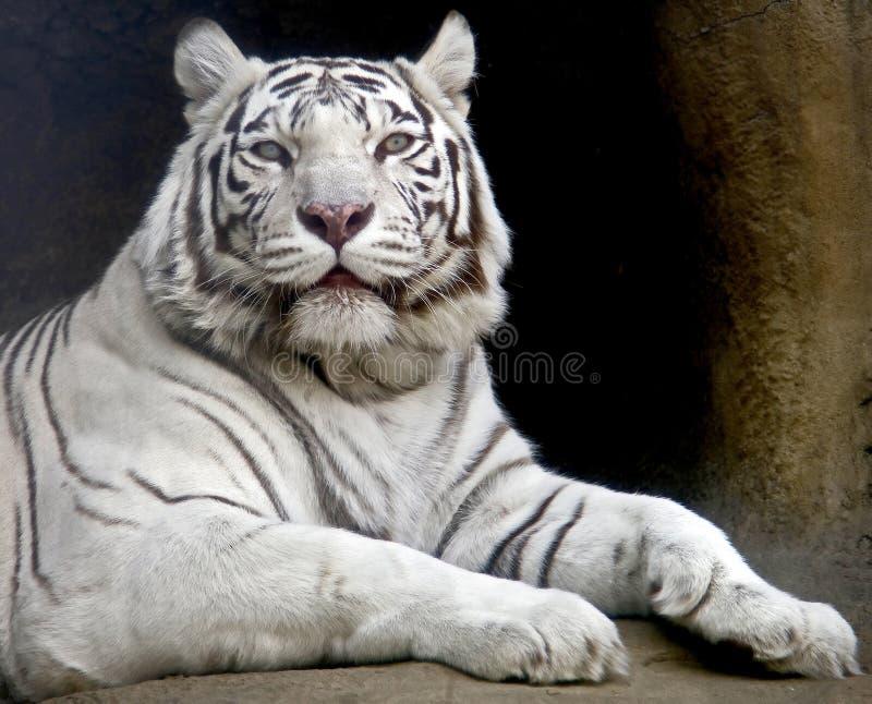 белизна 5 тигров стоковые изображения rf
