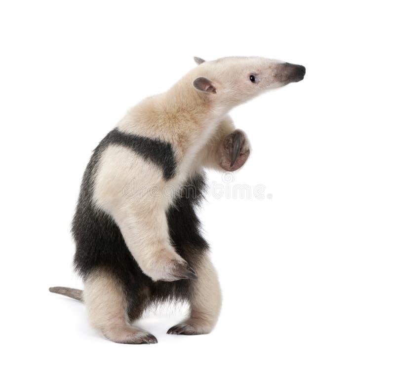 белизна anteater collared предпосылкой передняя стоковые фотографии rf