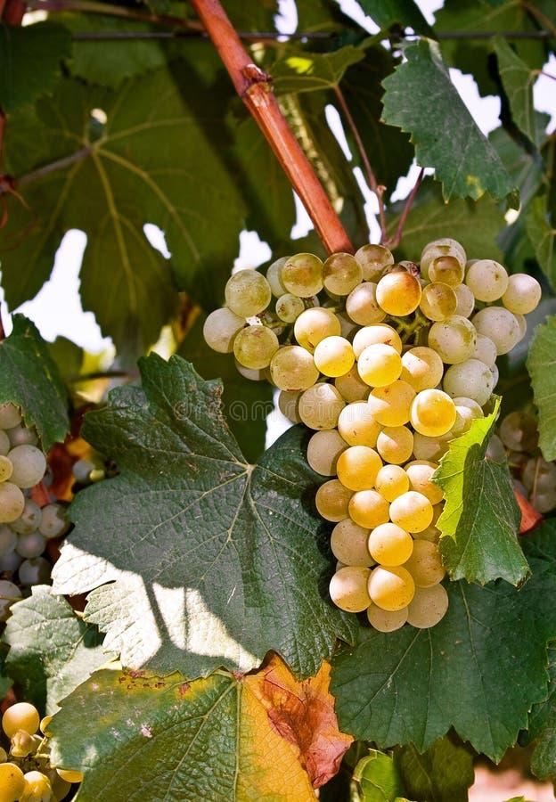 белизна chardonnay стоковые изображения