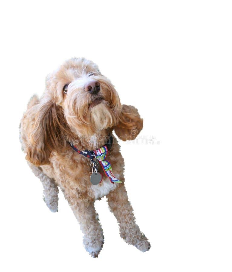 белизна cockapoo изолированная собакой стоковое фото