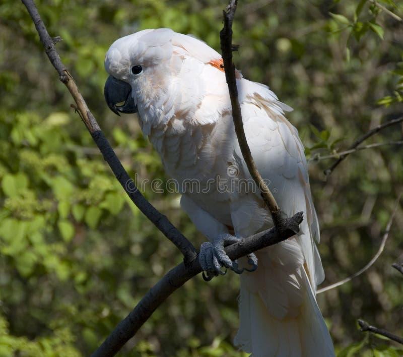 белизна cockatoo стоковые изображения rf