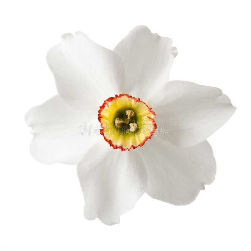белизна daffodil стоковые фото