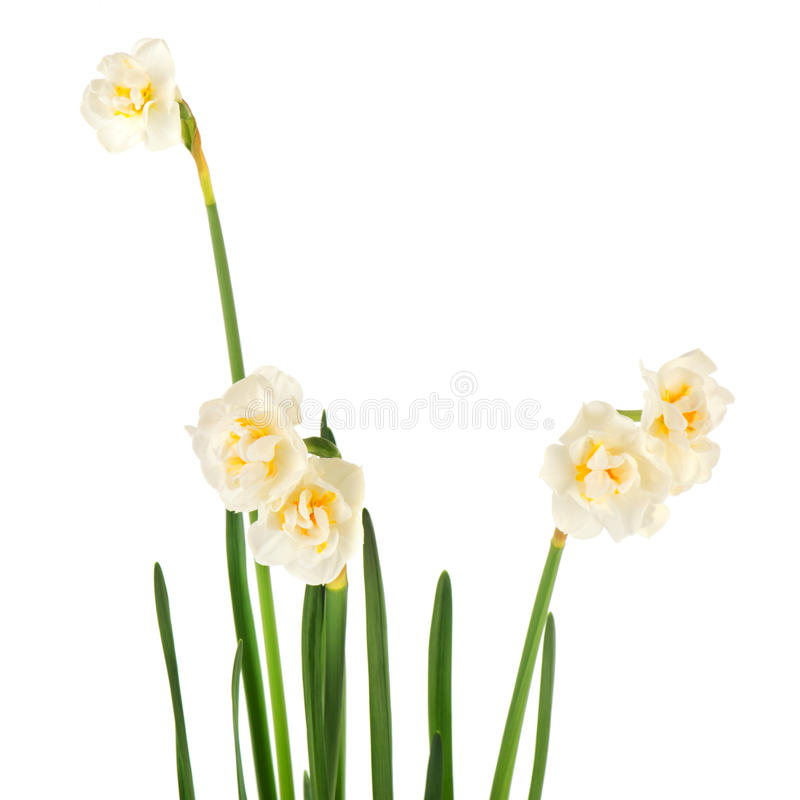 белизна daffodil стоковые фотографии rf