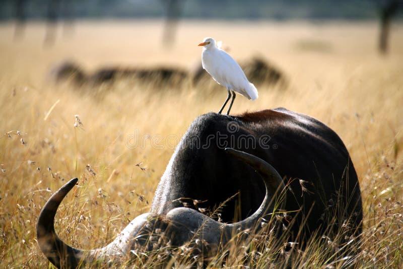 белизна egret скотин стоковое изображение rf