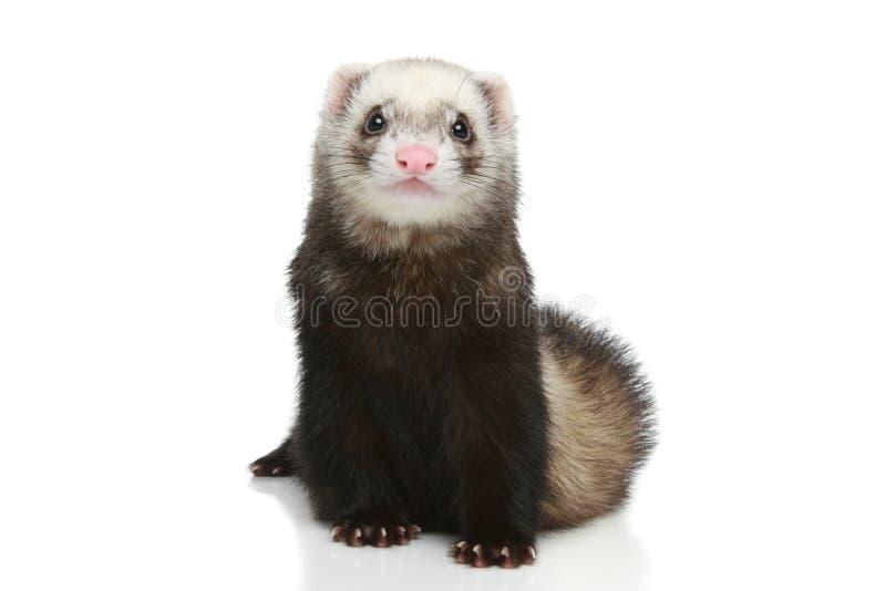 белизна ferret предпосылки стоковое фото