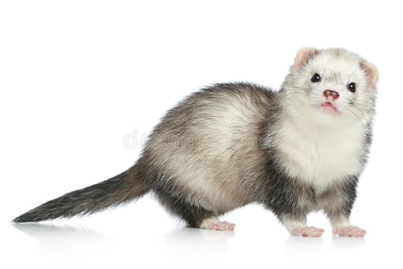 белизна ferret предпосылки стоковые фото