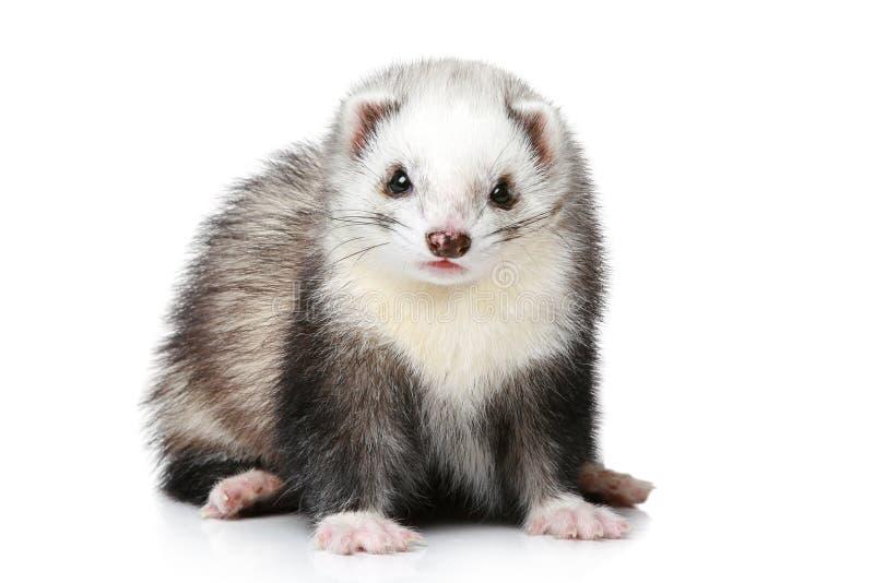 белизна ferret предпосылки стоковые фотографии rf