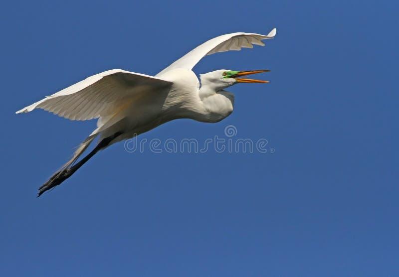 белизна florida egret стоковое изображение