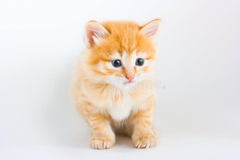 белизна foxy котенка сидя стоковые фотографии rf