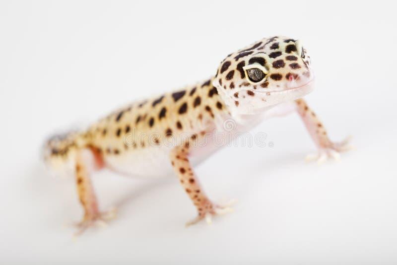 белизна gecko предпосылки стоковые фото